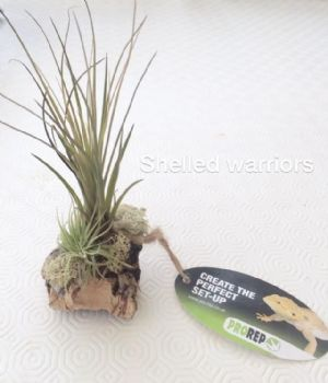 Display of 2 airplants, moss and cork bark - free post